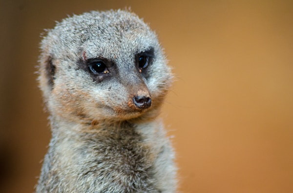 meercat at chicago zoo