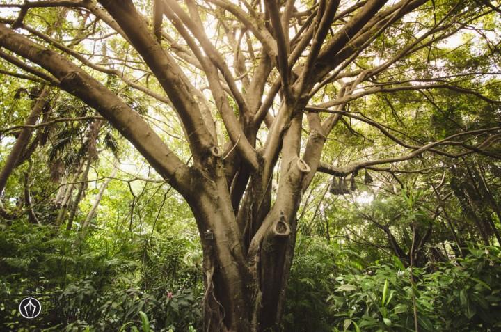 Tree in Brisbane Botanic Gardens