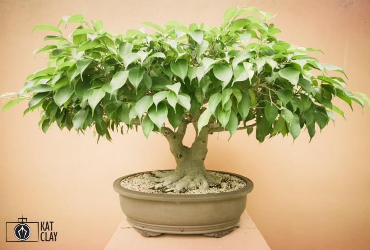 Brisbane botanic gardens bonsai