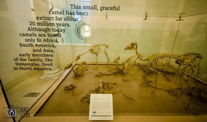 Tiny camels!
